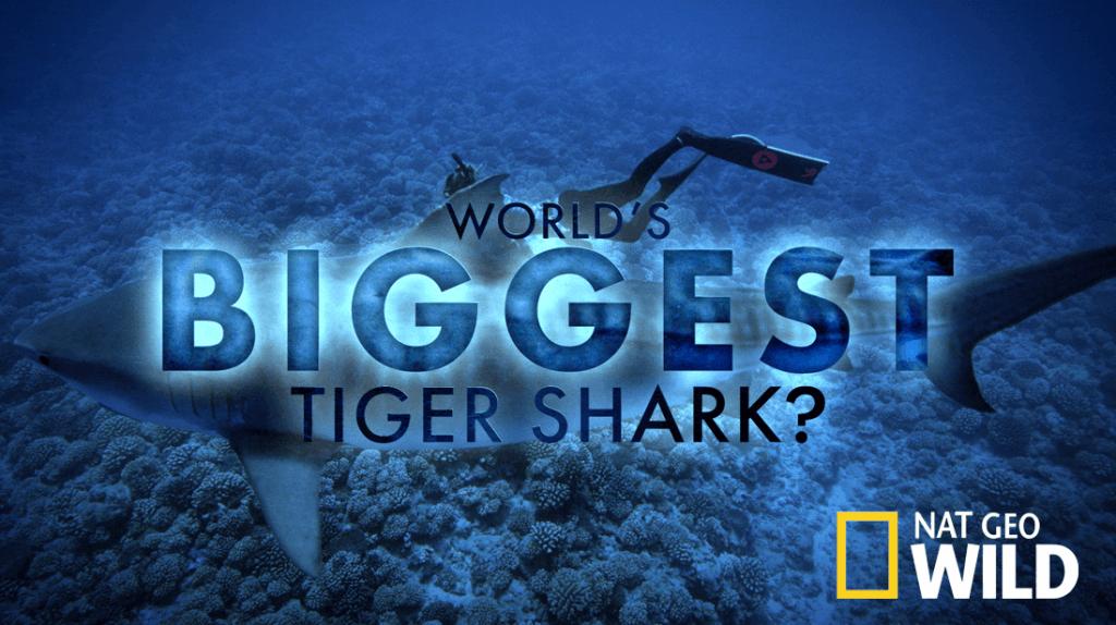 World's Biggest Tiger Shark
