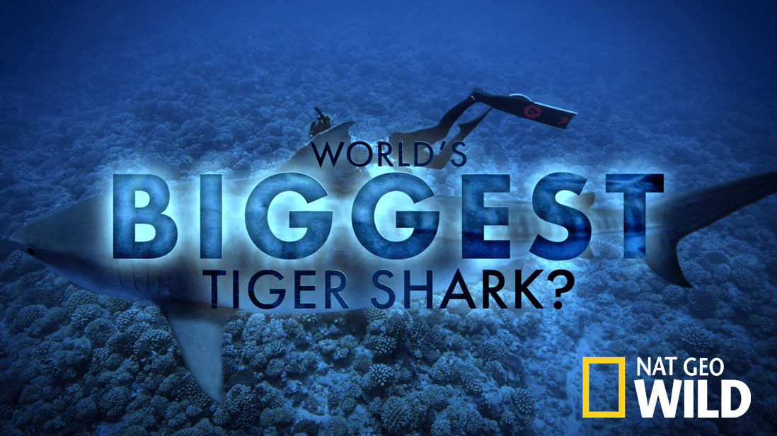 World's Biggest Tiger Shark